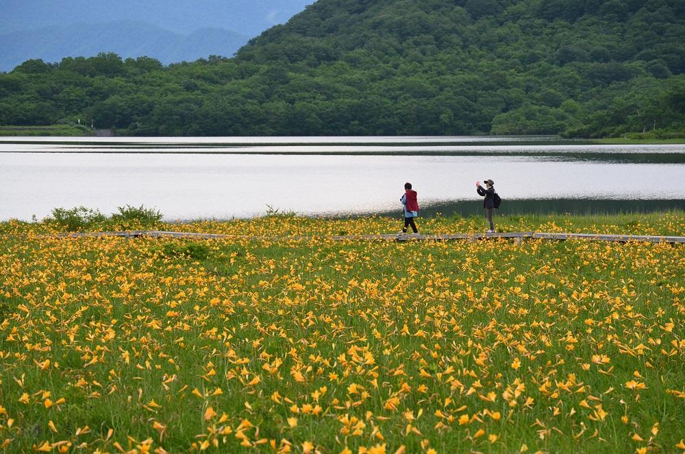 雄国沼湿原探勝路のニッコウキスゲ花畑の写真