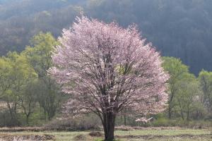 桧原の一本桜