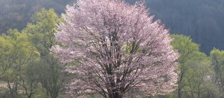 裏磐梯にも桜の季節が参りました。