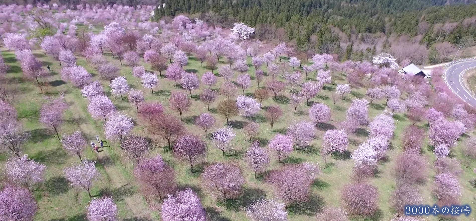 3000本の桜峠