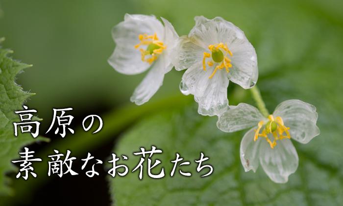 高原の素敵なお花たち